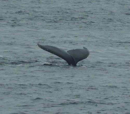 2020年鯨レポート 屋久島  ザトウクジラ_b0160957_17313980.jpg