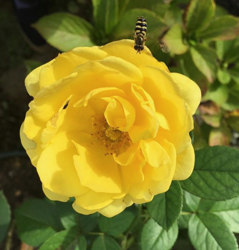 KHさんの黄色いバラのコレクション_a0094959_20060512.png