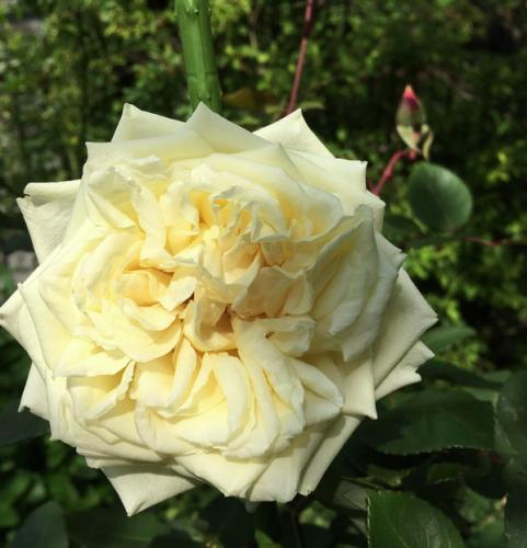 KHさんの黄色いバラのコレクション_a0094959_20101885.png