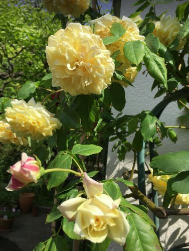 KHさんの黄色いバラのコレクション_a0094959_20104927.png