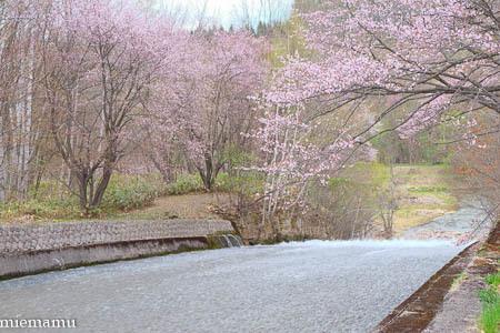 聖台ダムの桜vol.2~5月の美瑛_d0340565_20102790.jpg
