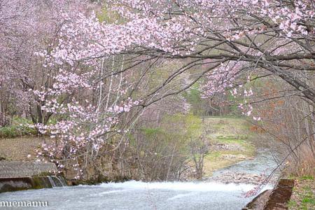 聖台ダムの桜vol.2~5月の美瑛_d0340565_20103425.jpg