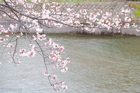 聖台ダムの桜vol.2~5月の美瑛_d0340565_20104203.jpg