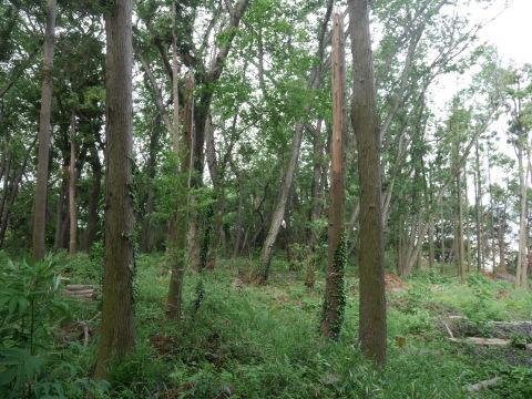 山桜の植樹念頭にチェンソーで台風被害木を処理5・12_c0014967_16244424.jpg