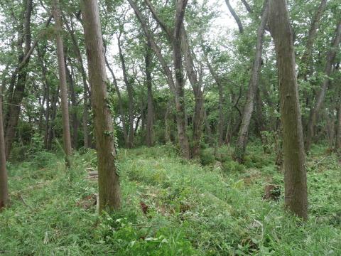 山桜の植樹念頭にチェンソーで台風被害木を処理5・12_c0014967_16250770.jpg