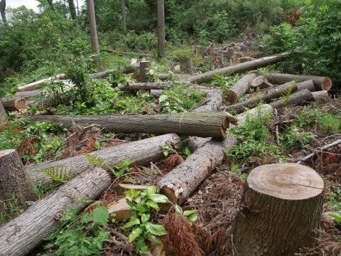 山桜の植樹念頭にチェンソーで台風被害木を処理5・12_c0014967_16255637.jpg