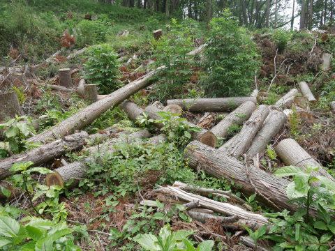山桜の植樹念頭にチェンソーで台風被害木を処理5・12_c0014967_16261318.jpg