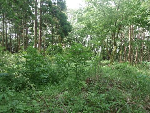 山桜の植樹念頭にチェンソーで台風被害木を処理5・12_c0014967_16283798.jpg