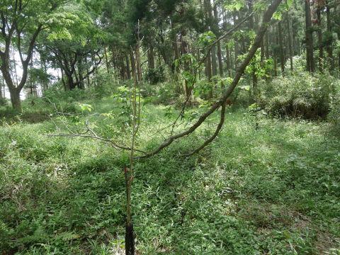 山桜の植樹念頭にチェンソーで台風被害木を処理5・12_c0014967_16291314.jpg
