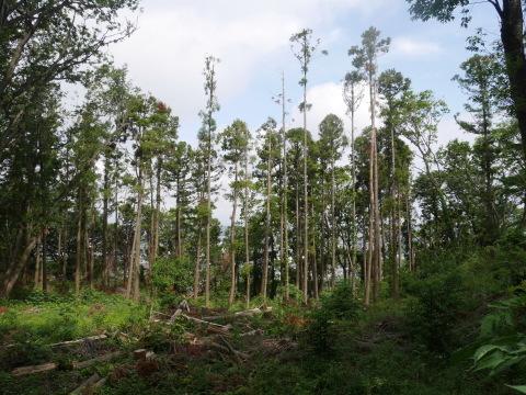 山桜の植樹念頭にチェンソーで台風被害木を処理5・12_c0014967_16303445.jpg