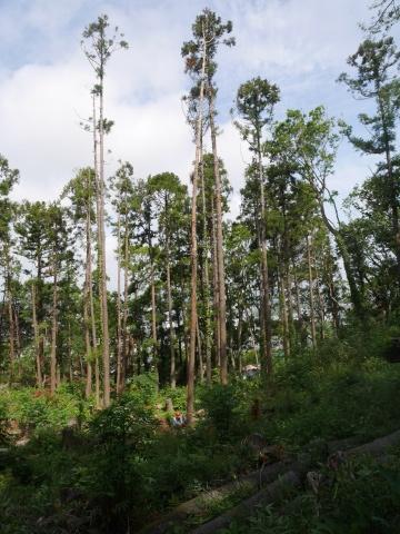 山桜の植樹念頭にチェンソーで台風被害木を処理5・12_c0014967_16311885.jpg