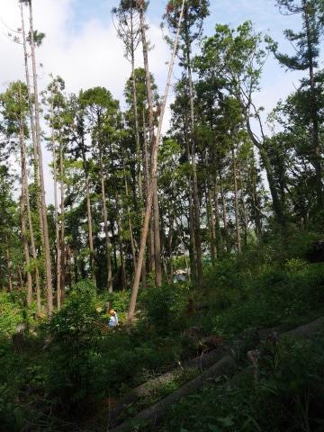 山桜の植樹念頭にチェンソーで台風被害木を処理5・12_c0014967_16315323.jpg