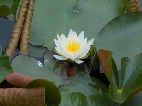 スイレンの池は町の中_e0175370_21562505.jpg