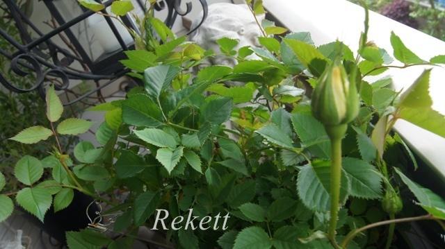 バラの季節ですね~♪_f0029571_00100635.jpg