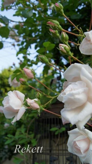バラの季節ですね~♪_f0029571_01094697.jpg