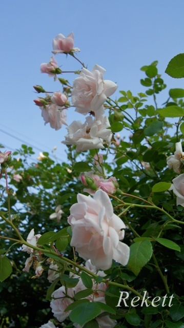 バラの季節ですね~♪_f0029571_01133637.jpg