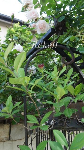 バラの季節ですね~♪_f0029571_12112697.jpg