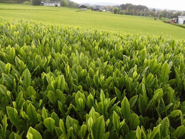 刈り取り間近の茶畑を行く  こどもの日に歩いた朝の散歩「総合運動公園コース」_f0141310_07381088.jpg