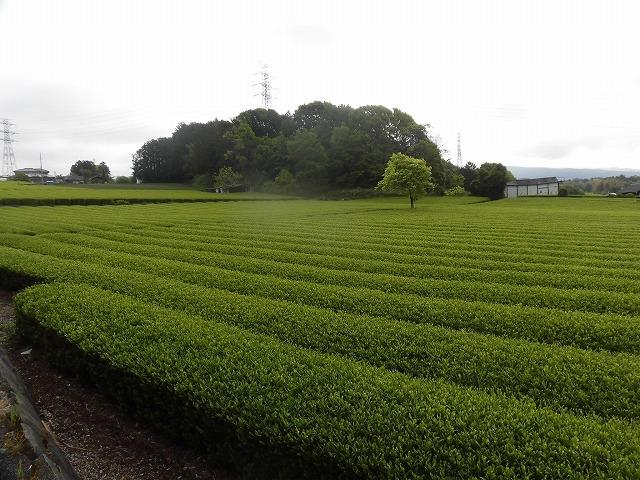刈り取り間近の茶畑を行く  こどもの日に歩いた朝の散歩「総合運動公園コース」_f0141310_07382142.jpg