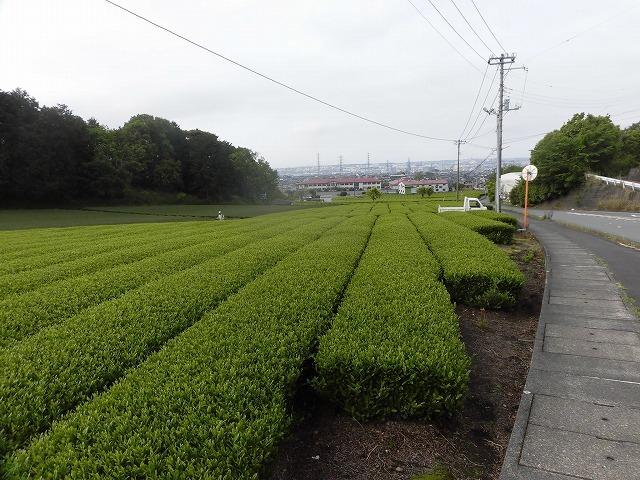 刈り取り間近の茶畑を行く  こどもの日に歩いた朝の散歩「総合運動公園コース」_f0141310_07382959.jpg