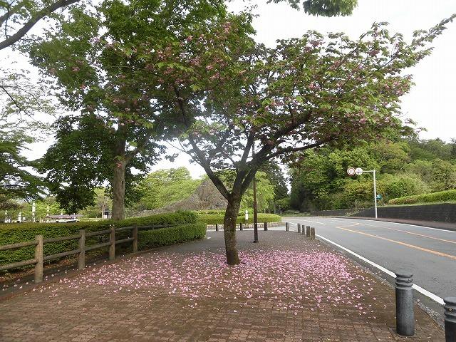 刈り取り間近の茶畑を行く  こどもの日に歩いた朝の散歩「総合運動公園コース」_f0141310_07383827.jpg