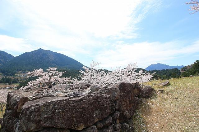 赤木城跡の桜満開(その2)(撮影:4月7日)_e0321325_15145711.jpg