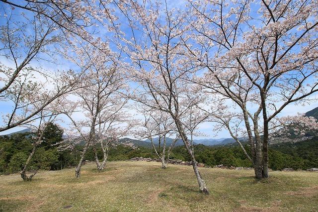 赤木城跡の桜満開(その2)(撮影:4月7日)_e0321325_15172828.jpg