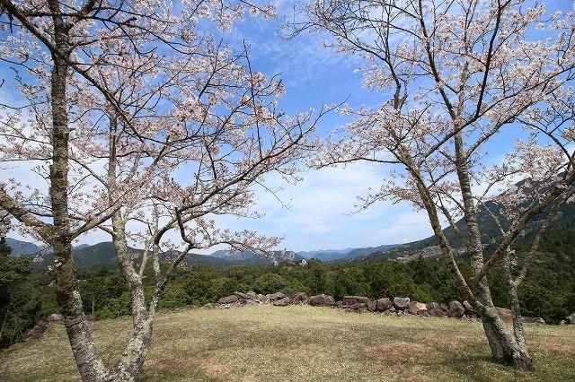赤木城跡の桜満開(その2)(撮影:4月7日)_e0321325_15184573.jpg