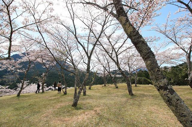 赤木城跡の桜満開(その2)(撮影:4月7日)_e0321325_15185794.jpg