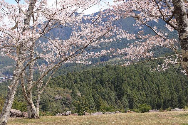 赤木城跡の桜満開(その2)(撮影:4月7日)_e0321325_15192044.jpg
