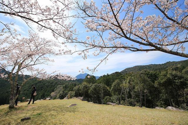 赤木城跡の桜満開(その2)(撮影:4月7日)_e0321325_19324432.jpg