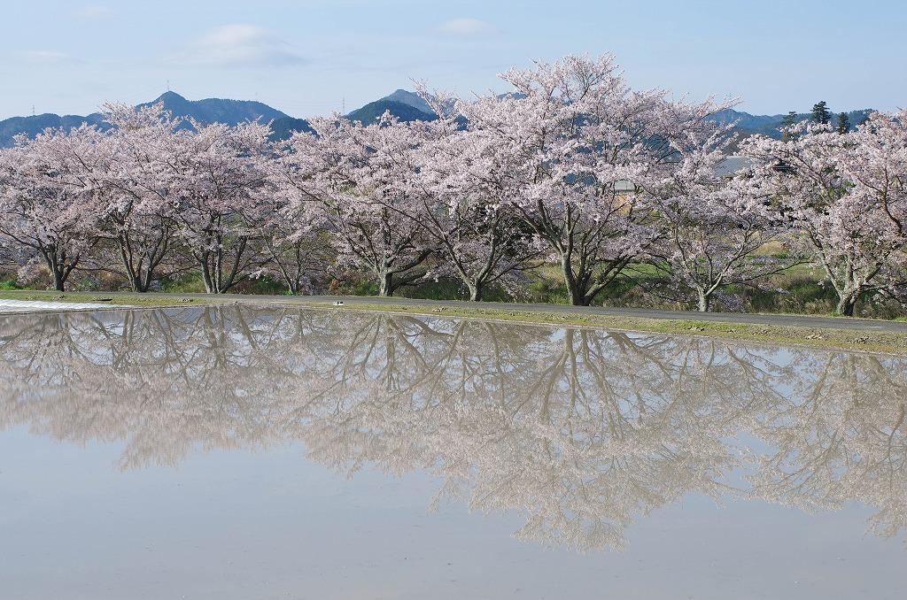 いつもの桜並木 2020_c0106831_04391529.jpg