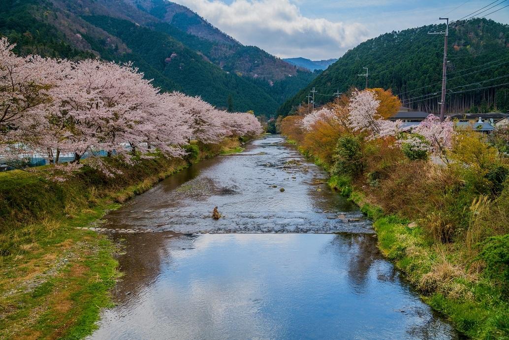 2020京都桜~高野川上流(大原)の桜_e0363038_13063829.jpg
