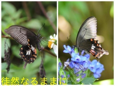 地域差における シロオビアゲハ ♀ ベニモン型の違い_d0285540_19382347.jpg