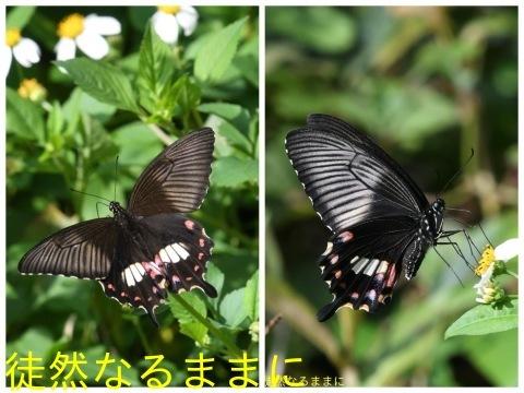 地域差における シロオビアゲハ ♀ ベニモン型の違い_d0285540_20314139.jpg