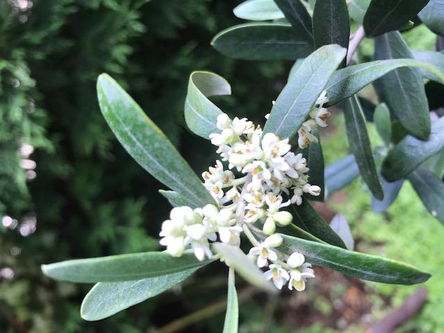 オリーヴの木に花がたくさん咲きました。_f0172744_15354890.jpg