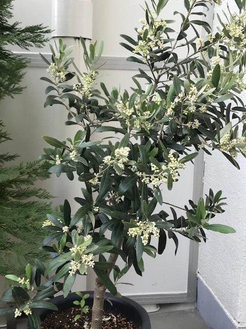 オリーヴの木に花がたくさん咲きました。_f0172744_1551353.jpg