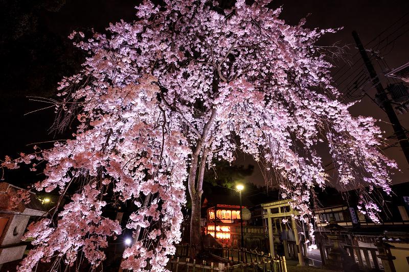 2020桜咲く京都 木花桜ライトアップ(縣神社)_f0155048_23273094.jpg