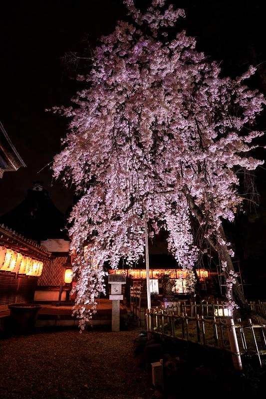 2020桜咲く京都 木花桜ライトアップ(縣神社)_f0155048_23301211.jpg