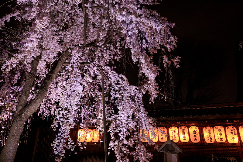 2020桜咲く京都 木花桜ライトアップ(縣神社)_f0155048_23302480.jpg