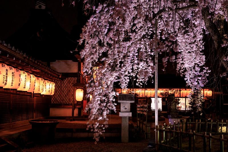 2020桜咲く京都 木花桜ライトアップ(縣神社)_f0155048_23302996.jpg