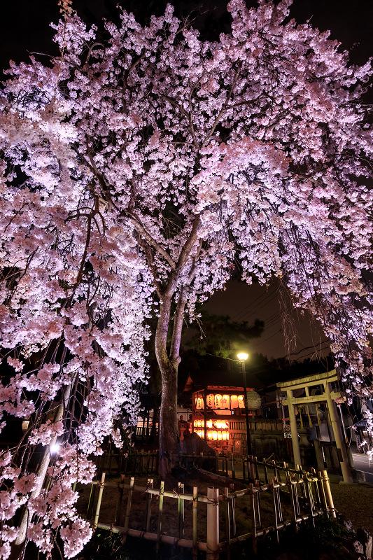 2020桜咲く京都 木花桜ライトアップ(縣神社)_f0155048_23303420.jpg