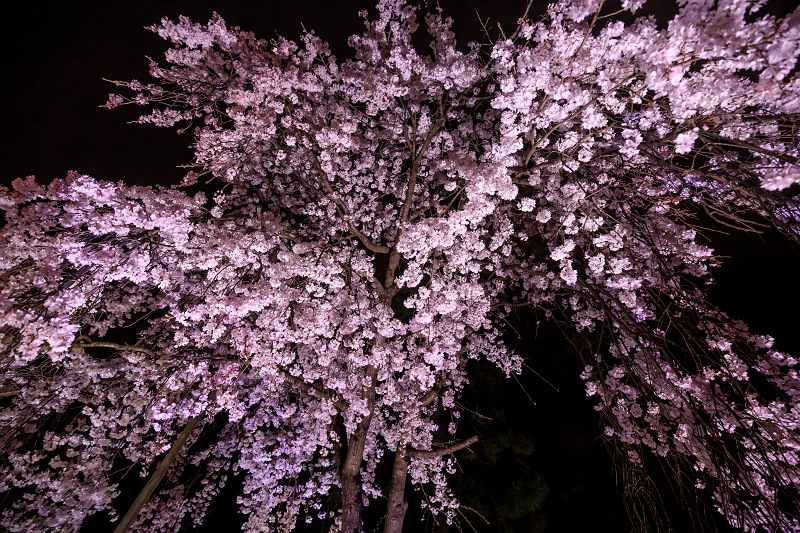 2020桜咲く京都 木花桜ライトアップ(縣神社)_f0155048_23304498.jpg