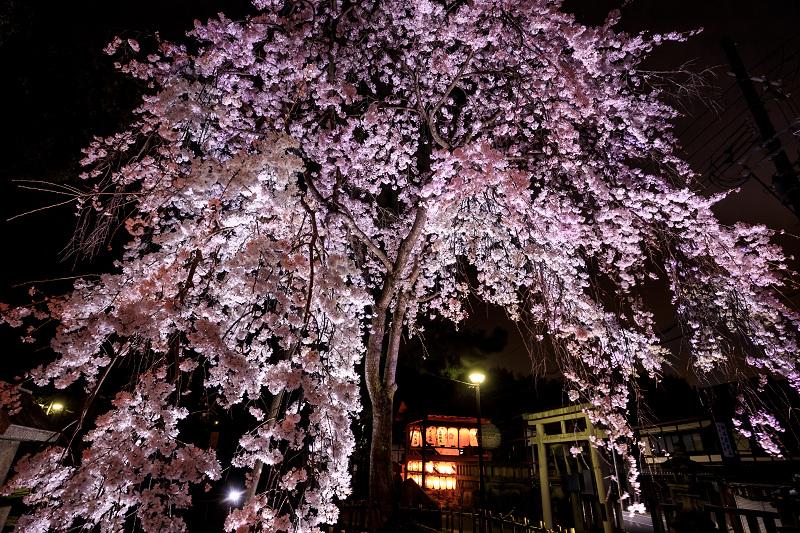 2020桜咲く京都 木花桜ライトアップ(縣神社)_f0155048_23304734.jpg