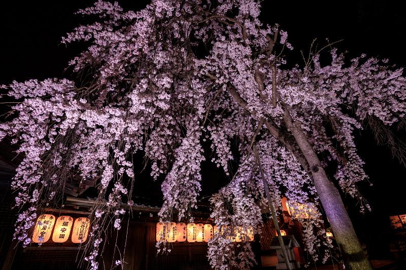2020桜咲く京都 木花桜ライトアップ(縣神社)_f0155048_233086.jpg