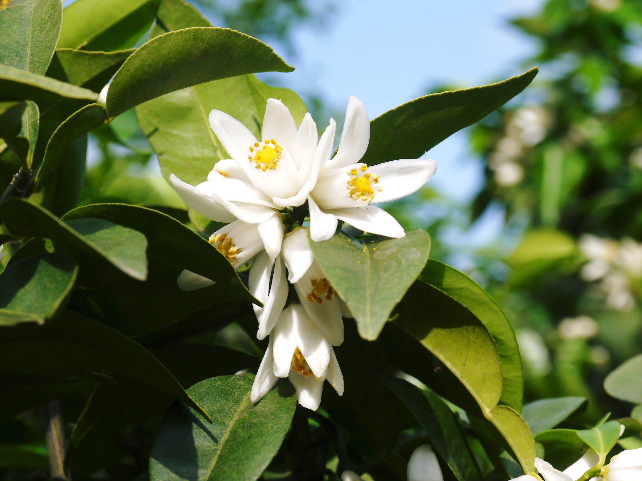 香り高き柚子(ゆず) 今年も元気な花が咲き誇ってます!柚子の花(2020)_a0254656_18541409.jpg