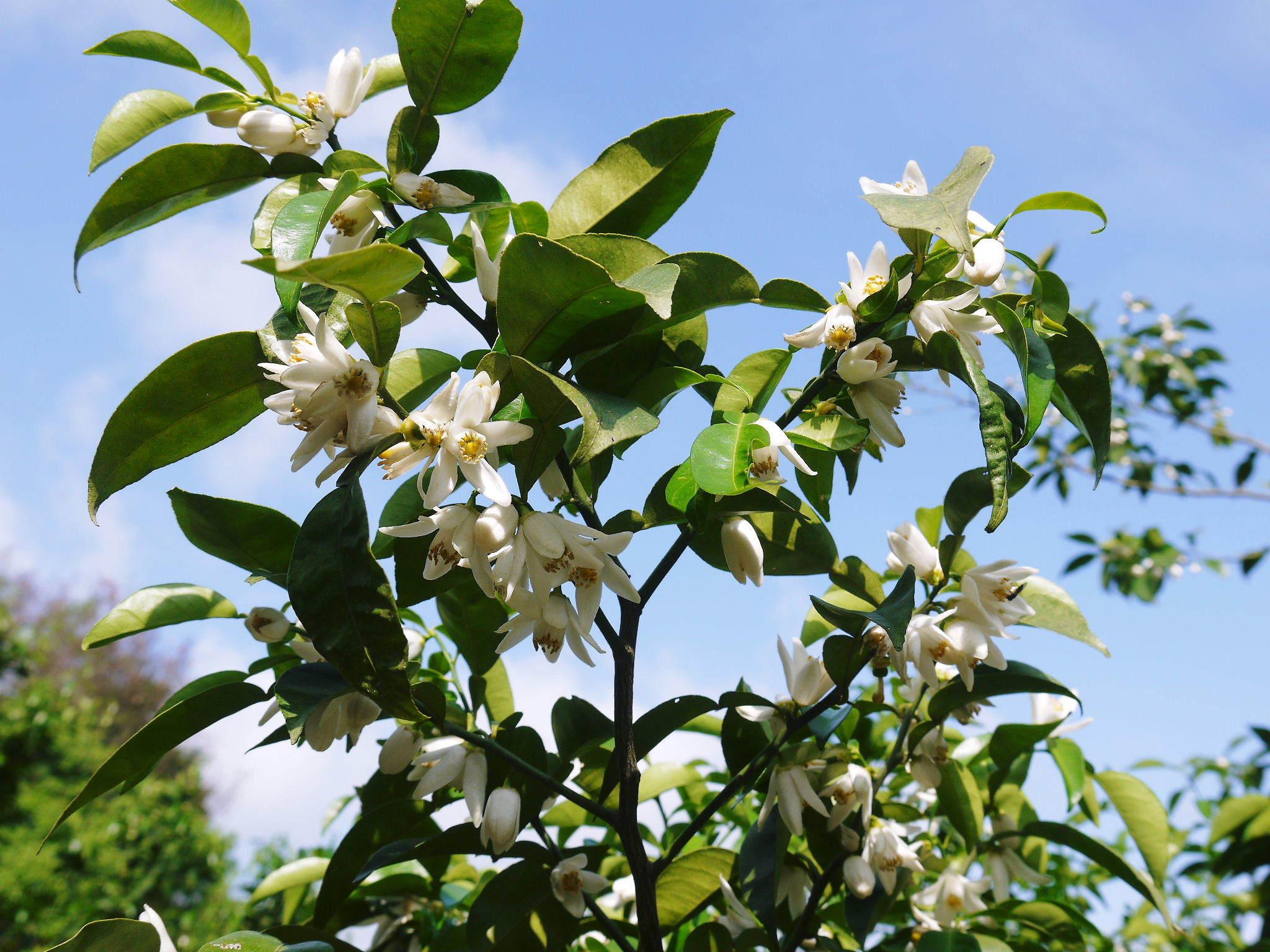 香り高き柚子(ゆず) 今年も元気な花が咲き誇ってます!柚子の花(2020)_a0254656_18553494.jpg