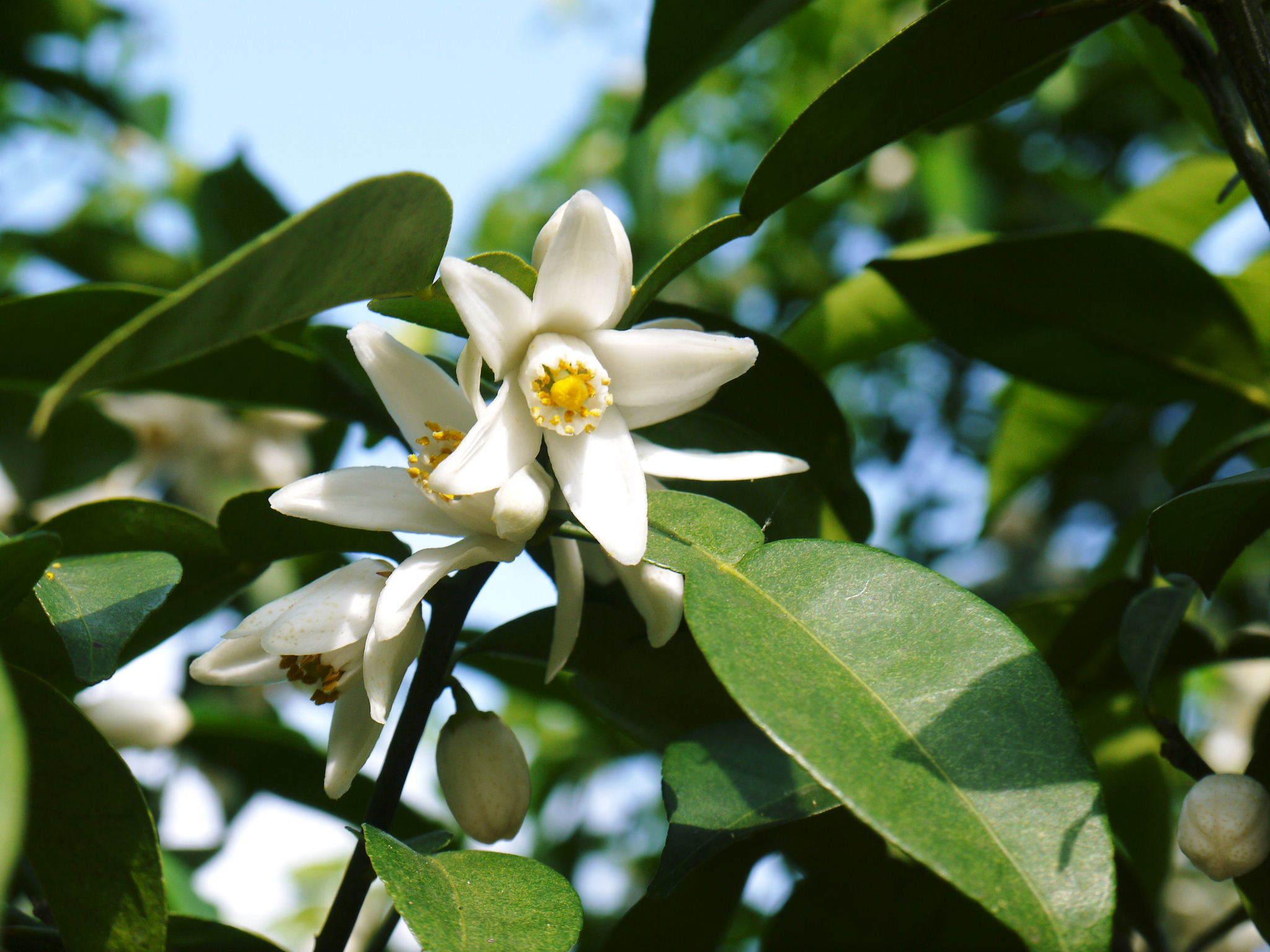 香り高き柚子(ゆず) 今年も元気な花が咲き誇ってます!柚子の花(2020)_a0254656_18561200.jpg