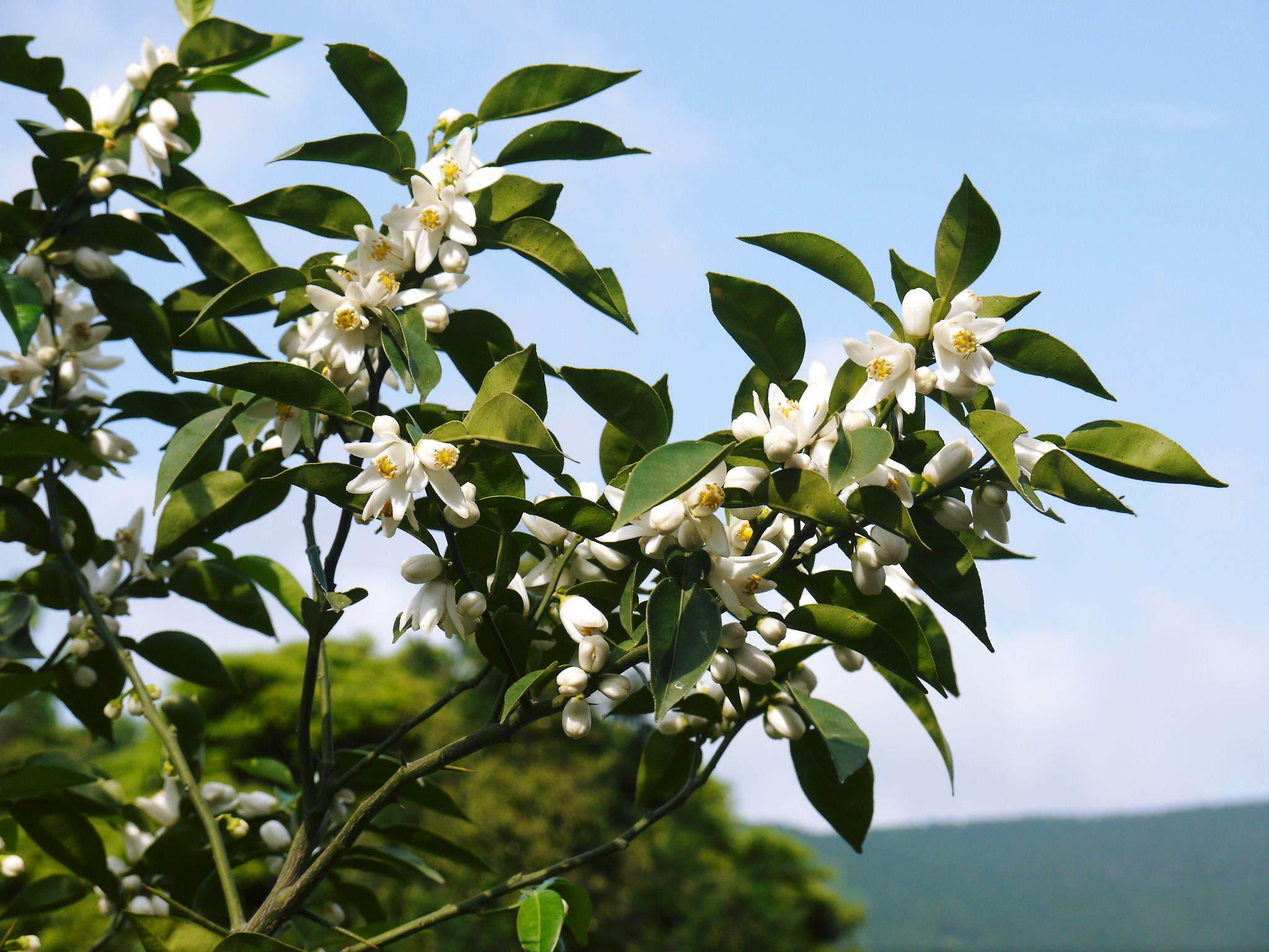 香り高き柚子(ゆず) 今年も元気な花が咲き誇ってます!柚子の花(2020)_a0254656_18570830.jpg
