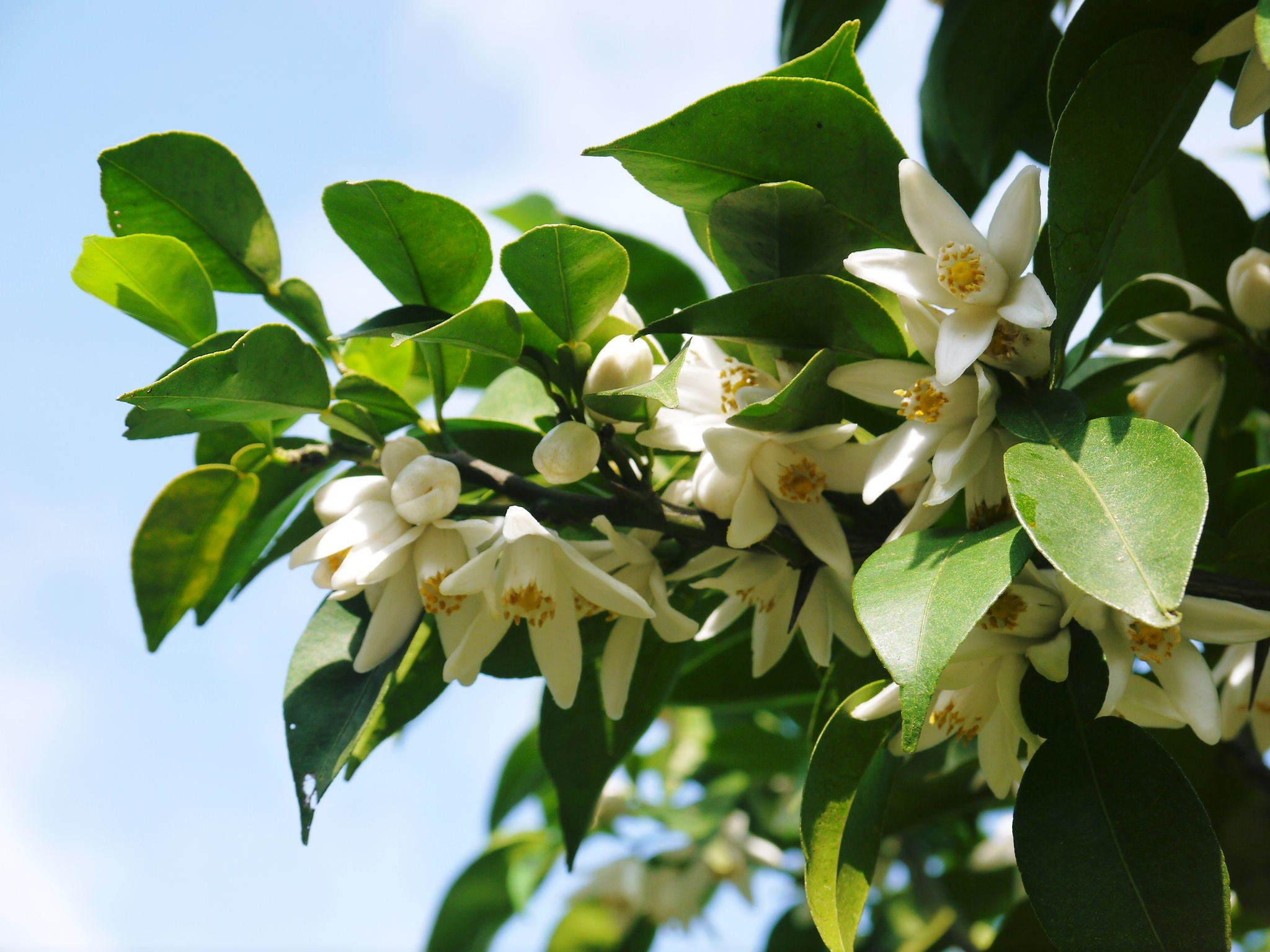 香り高き柚子(ゆず) 今年も元気な花が咲き誇ってます!柚子の花(2020)_a0254656_19041868.jpg